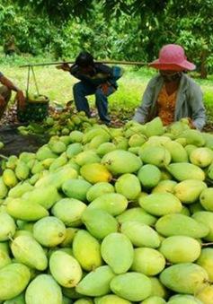 Xoài Việt Nam chính thức được xuất khẩu sang Mỹ