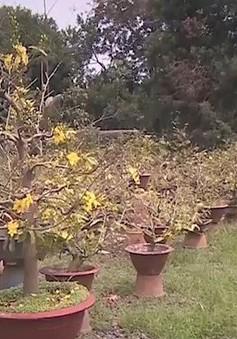 Đồng Nai: Nông dân trồng mai mất trắng vì thời tiết