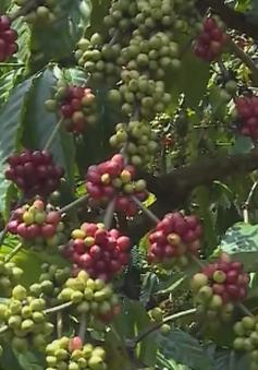 Lối ra nào cho sản phẩm cà phê VietGap?