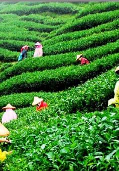 Hội thảo phát triển thương hiệu, văn hóa chè Việt Nam