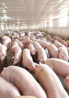 Bộ NN&PTNT: Kéo giá thịt lợn xuống dưới 50.000 đồng/kg ngay trong tháng 10