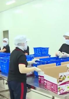 Tiền Giang sắp xuất sang Mỹ 400 tấn vú sữa Lò Rèn