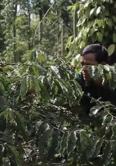 Chú trọng liên kết doanh nghiệp - nông dân: Thúc đẩy sản xuất cà phê bền vững