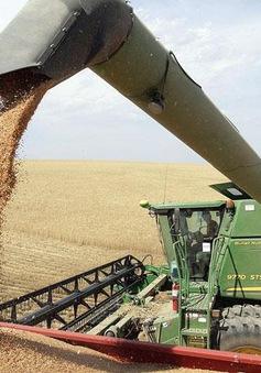 Doanh nghiệp lo đóng cửa nhà máy vì bị cấm nhập lúa mì có Cirsium arvense