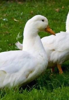 Khám phá các bài thuốc chữa bệnh hữu hiệu từ vịt