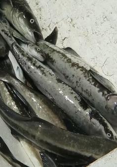 Quảng Ngãi: Cá bớp nuôi lồng chết hàng loạt chưa rõ nguyên nhân