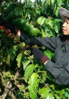 Đắk Lắk hạn chế thu hái cà phê xanh, non