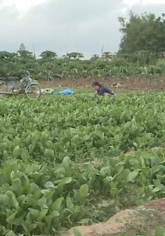 Thiếu chuỗi liên kết tiêu thụ, rau xanh Quảng Ngãi thua ngay trên sân nhà