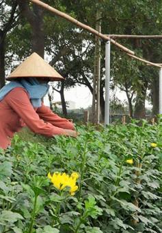 """Bình Định: Người trồng hoa tết lao đao vì giống """"dỏm"""""""