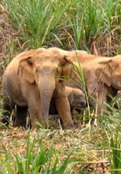 Nghệ An: Đàn voi rừng tiến gần bản làng