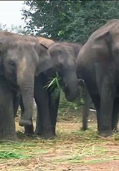 Âm nhạc chữa lành vết thương cho voi