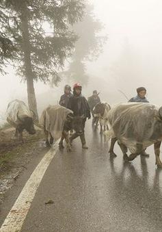 Hơn 2.000 con trâu bò bị chết rét