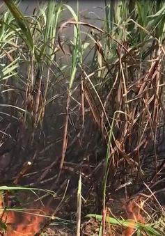 Quảng Ngãi: Mía cháy gây thiệt hại hàng trăm triệu, nông dân điêu đứng