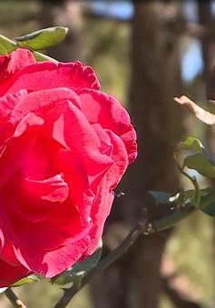 Độc đáo vườn hồng cổ Bungary và Pháp giữa lòng Đà Lạt