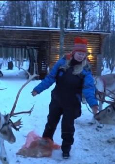 Tuần lộc - Loài vật may mắn ở Phần Lan