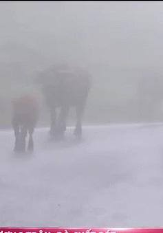 Trâu, bò chết rét ở vùng núi phía Bắc tiếp tục tăng