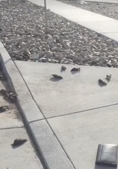 Mỹ: Hàng trăm con chim rơi xuống đất chết không rõ lý do