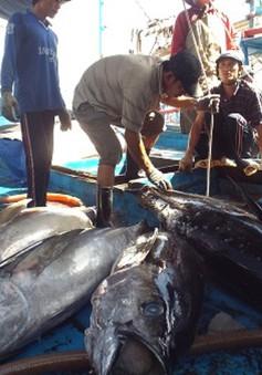 Ngư dân Nam Trung Bộ được mùa cá ngừ