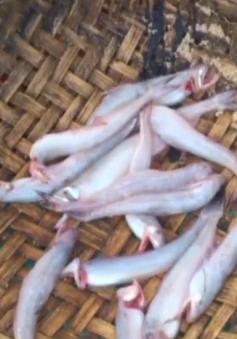 Ngư dân Sầm Sơn trúng đậm mẻ cá trích