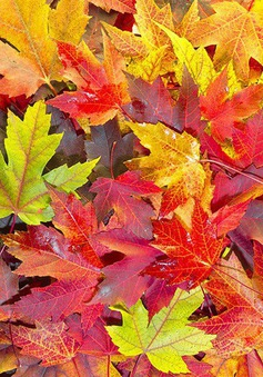 Tại sao lá cây lại chuyển màu vào mùa thu?