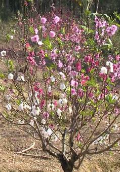 TỪ 10/2-2/3: Lễ hội hoa đào xứ Lạng