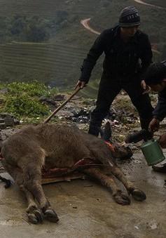 Nhiều gia súc chết rét tại Lai Châu