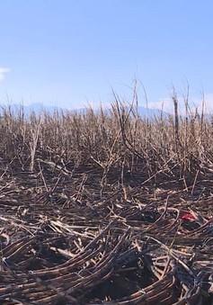 Nông dân Tây Nguyên với nỗi lo cháy mía trong mùa khô