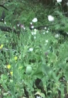 Điện Biên phát hiện hơn 1ha trồng cây thuốc phiện