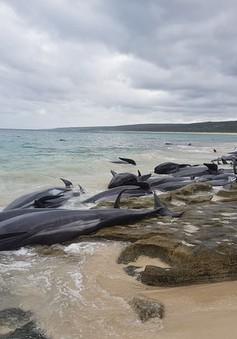 Hàng trăm cá voi chết do mắc cạn tại bờ biển Australia