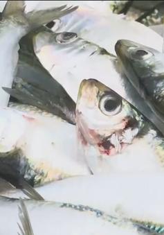 Ngư dân Thanh Hóa trúng đậm mùa cá trích