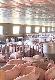 Giá lợn tiếp tục tăng