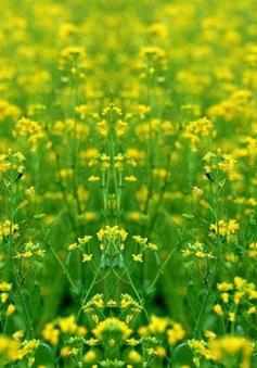 Sắc vàng hoa cải tại Thừa Thiên Huế
