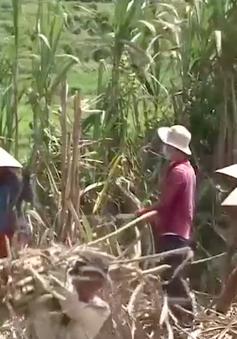 Người H'rê ở Quảng Ngãi tiết giảm thời gian ăn Tết