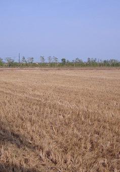 Nguy cơ giảm năng suất lúa khi mặn xâm nhập