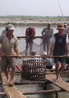 Giá cá tra vượt ngưỡng 30.000 đồng/kg