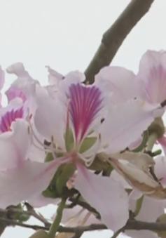 Tối nay (17/3), tỉnh Điện Biên khai mạc Lễ hội hoa ban