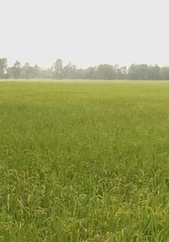 Liên kết sản xuất và tiêu thụ lúa còn nhiều hạn chế