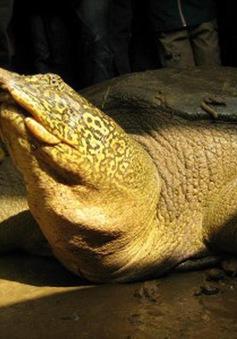 Tìm thấy cá thể rùa Hoàn Kiếm, loài rùa quý hiếm nhất thế giới tại Sơn Tây, Hà Nội