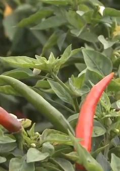 Nông dân Quảng Ngãi phấn khởi vì ớt được giá