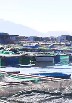 Bất ổn nghề nuôi tôm hùm trên biển sau bão