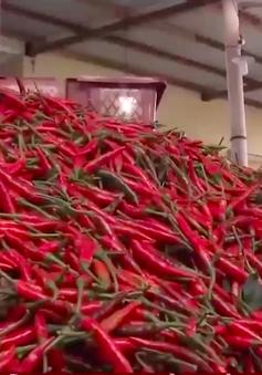 Nông dân Quảng Ngãi được mùa ớt