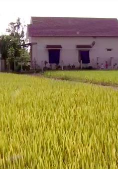 Sản xuất lúa thích ứng biến đổi khí hậu
