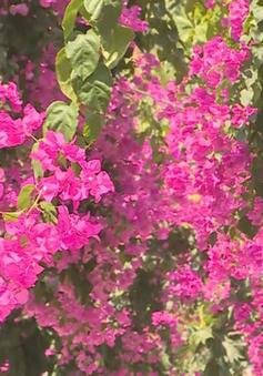 """Nha Trang: """"Con đường hoa giấy"""" níu chân du khách từ vẻ đẹp bình dị"""