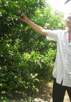 Thua lỗ, trắng tay - Hệ lụy thấy trước từ việc ồ ạt trồng cam trên đất lúa