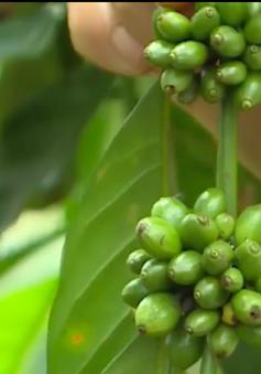Lâm Đồng đầu tư công nghệ cho canh tác cà phê
