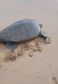 Xuất hiện Vích quý hiếm bơi lạc vào bãi biển Kỳ Co, Bình Định