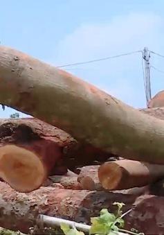 Nhiều dấu hiệu bất thường sau vụ chặt phá gỗ lim rừng ở huyện Tam Đảo