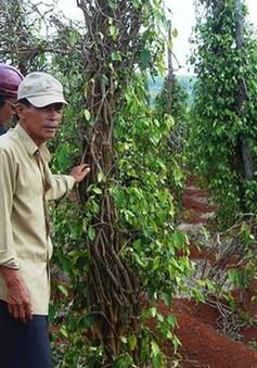 Khánh Hòa: Khuyến cáo cẩn trọng trước tình trạng thu mua rễ tiêu