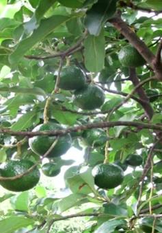 Hạn chế trồng xen cây ăn quả trong vườn cà phê