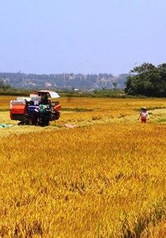 Nông dân Bình Định, Phú Yên được mùa vụ Đông Xuân